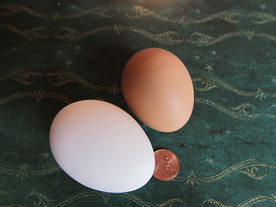 pullet egg compared to a regular chicken egg