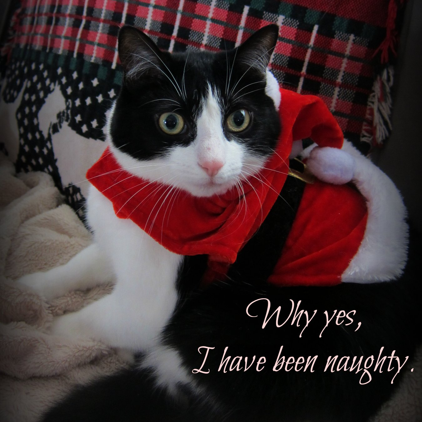 taking successful cat Christmas pictures